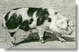 Tradycyjnie polska wieprzowina w sklepach Auchan